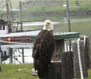 Bald eagle (Credit: Michele Brustolon)
