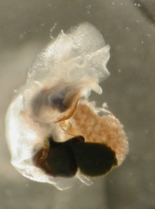 We saw one of these yesterday. It is called thecosomate pteropods, or winged foot. Here you can see the foot extended. It really does look like a wing.