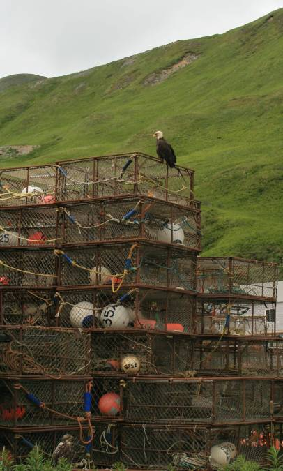 A Bald Eagle guards the crab pots stored near the pier
