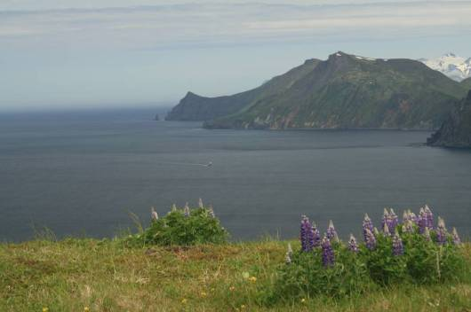 The view from Mt. Ballyhoo on Amaknak Island. Lupine, a common plant found on the island, is in bloom in the foreground