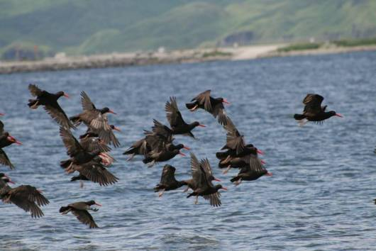 Black Oystercatchers take flight over the harbor