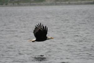 Bald eagles are abundant around the port in Dutch Harbor