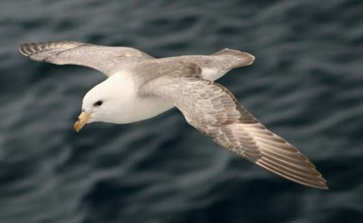 Northern fulmar, light morph