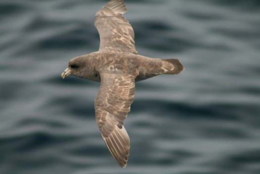 Northern fulmar, dark morph