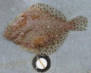 Fourspot Flounder