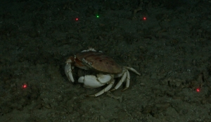 Crab on sandy bottom with 4 red laser beam lights and one green