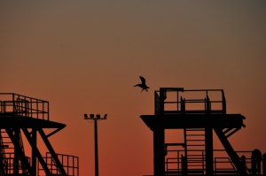 Gull silhouette landing on a ship stair in the evening