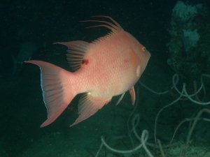 Pink hogfish swimming away from the camera.