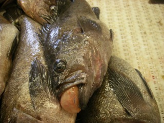 Black Rockfish- we had some fried rockfish for dinner tonight!