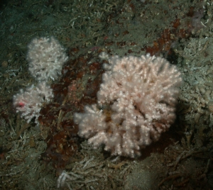 white hard puffy ball of coral