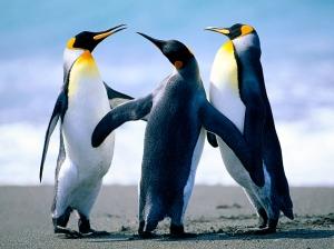 Three Penguins Standing