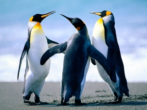 Three Penguins Standing