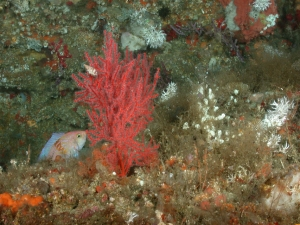 A red coral with a little scorpion fish next to it on the left