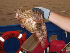 This is called an oyster toad fish