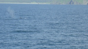 fin whale blow and dorsal fin