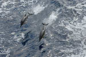 Two Common Dolphins