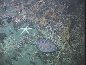sea stars and flat fish