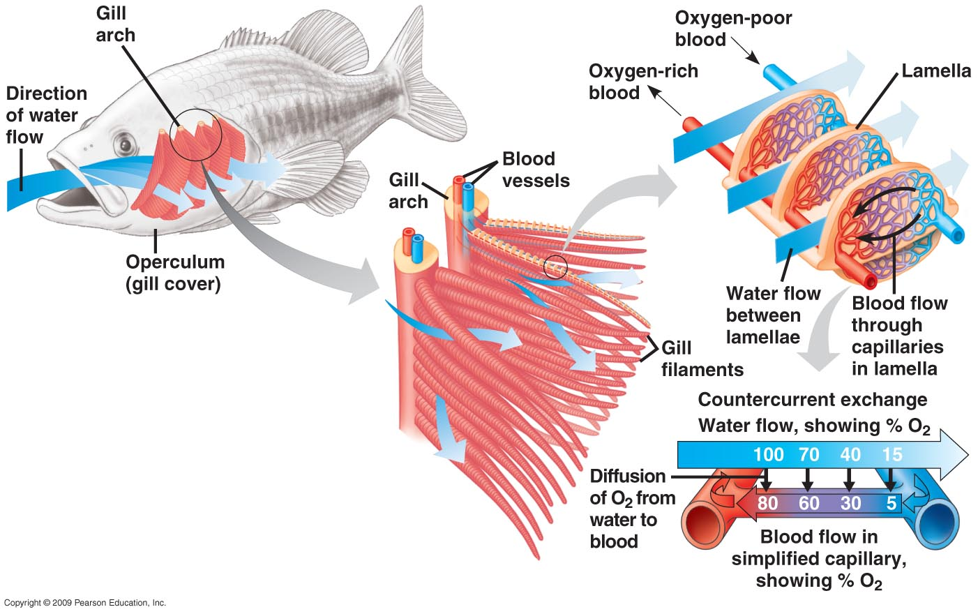 Fish Gills Diagram