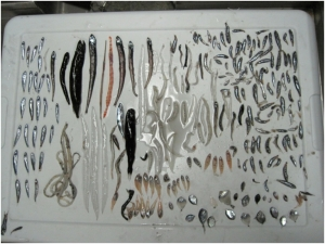 Variety of Non-Myctophid Fish caught in the trawl