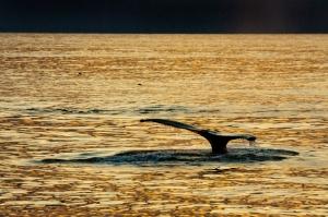 Humpbacks, July 4