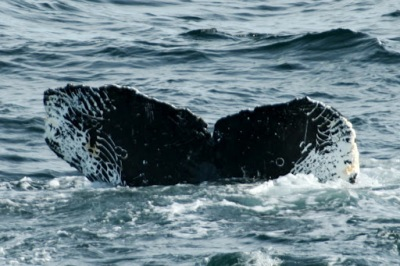 This Humpback was last seen in this area in 2004, and has not been seen since.  The white marks on its fluke are from a killer whale attack!  Kathy emailled photos of the whales to observers, and they were able to identify individuals!