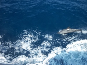 Dolphin playing on starboard side of the ship