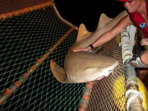 Me touching a sandbar shark