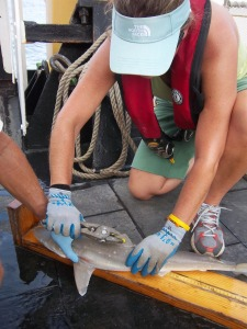 Mark Grace, Chief Scientist, assists me tagging an Atlantic sharpnose shark