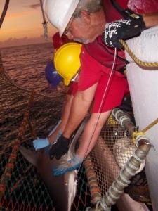 Sandra tags a sandbar shark