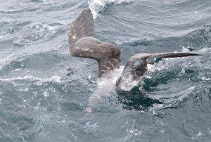 shearwater feeding under water