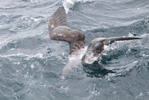 shearwater feeding under water