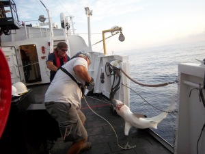 Jeff and Cliff getting a blacktip shark on board
