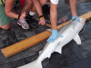 Tagging a blacktip shark