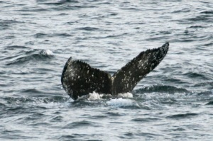 Whale tail: Individual humpback whales can be identified by the black/white pattern on the ventral side of the fluke (tail).  The pattern is like a human's fingerprint, unique to one animal.