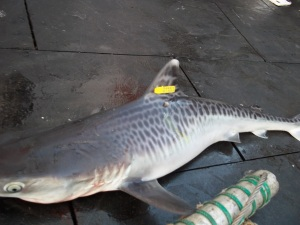 Tiger shark with Roto tag
