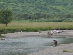 Kodiak Brown Bear.  Kodiak, AK