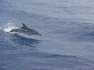 Dolphin swimming alongside the ship