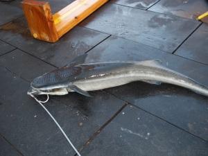 sharksucker
