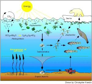 Marine Food Chain