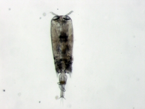 Female Copepod