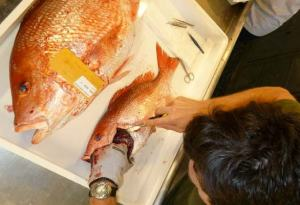 David Berrane removes otoliths from red snapper, Lutjanus campechanus Photo credit: Christina Schobernd
