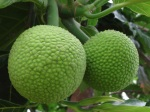 Breadfruit is a starchy staple of the American Samoan diet.