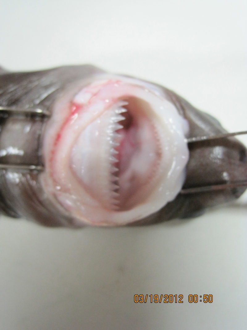 Here is a close up picture of the cookie cutter shark's mouth.  It's small but can be destructive.