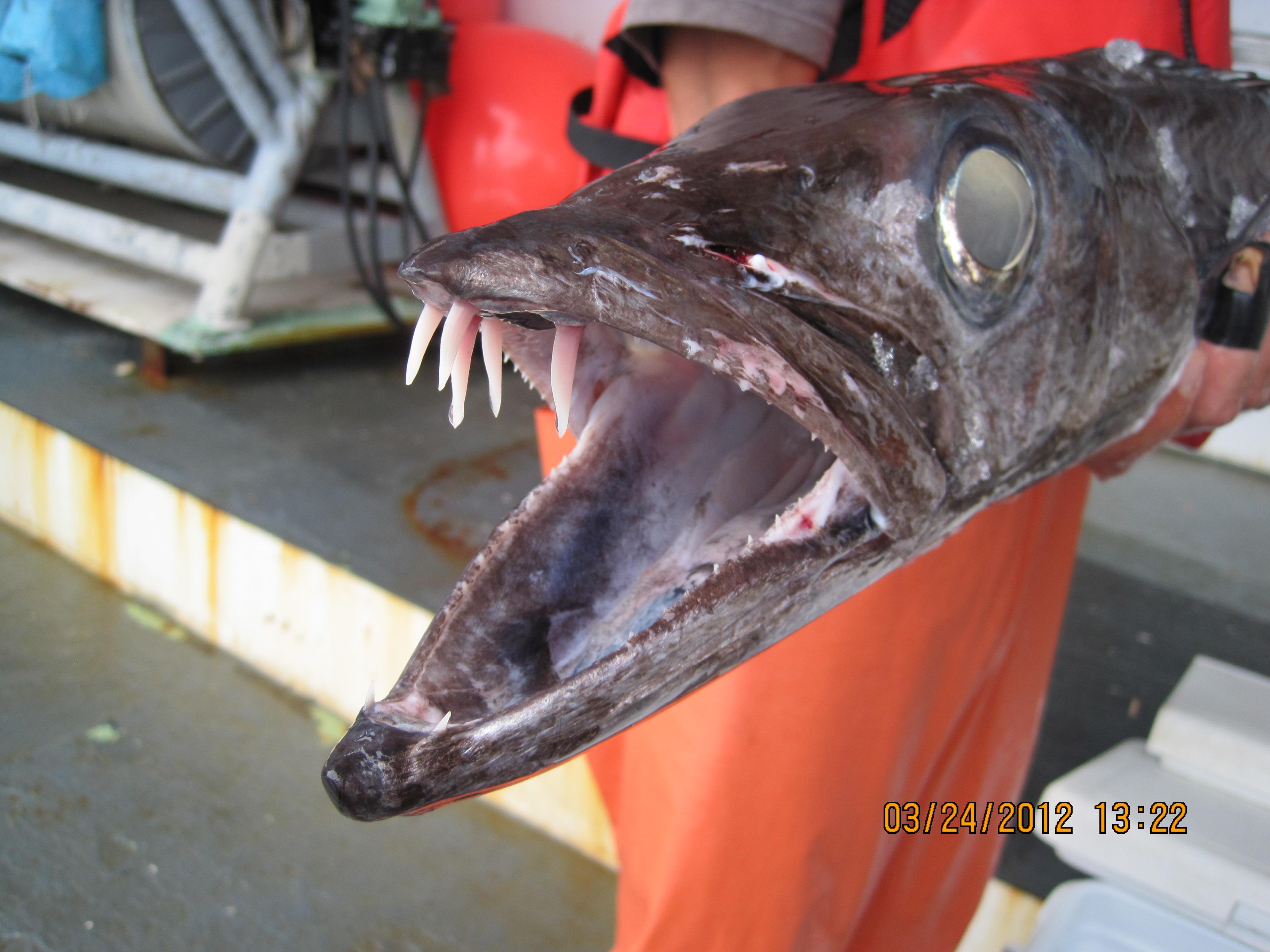 следует рыба пилозуб картинки то, чем