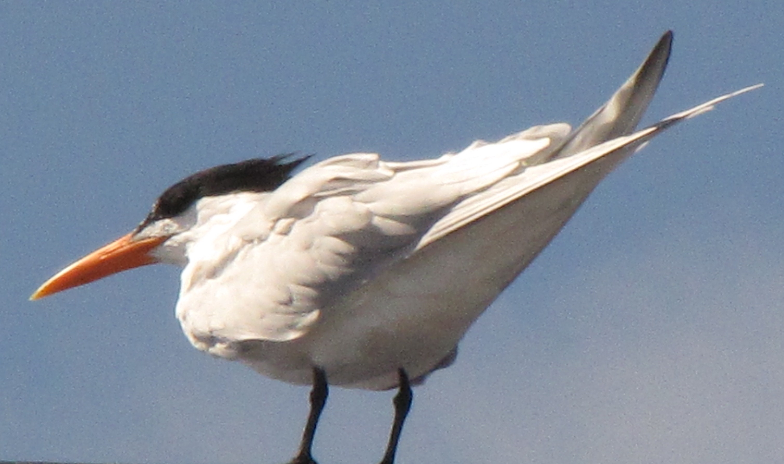 "Royal tern ""on station"" at the jack mast."