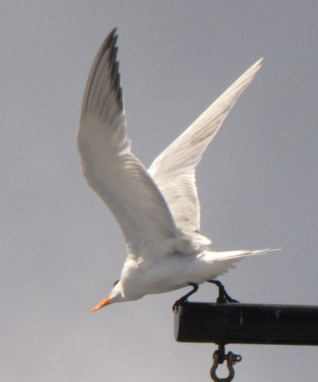 "Royal tern ""on station"" at the jack mast."