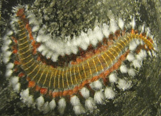 Fireworm (Drawings and images by Dave Grant - NOAA Ron Brown)