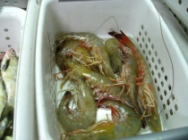 Shrimp waiting to be measures