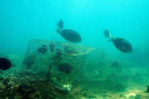 Chevron fish trap