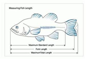 Fish length measurements